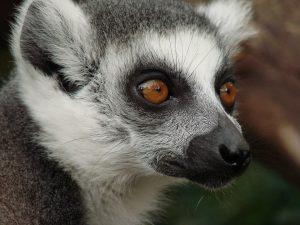 lemur-108450_960_720